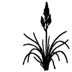 La symbolique de l'asphodèle.