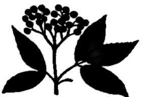 La symbolique du sureau.